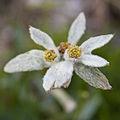 Leontopodium shinanense 02.jpg