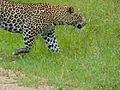 Leopard (Panthera pardus) farewell (12907120615).jpg