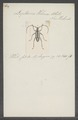 Leptocera - Print - Iconographia Zoologica - Special Collections University of Amsterdam - UBAINV0274 033 22 0002.tif