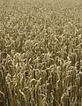 Les Plantes Cultivades. Cereals. Imatge 279.jpg