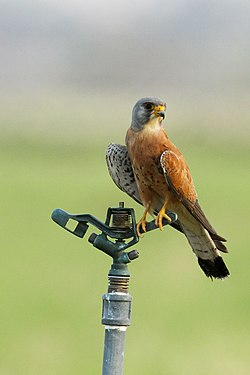 Lesser Kestrel from Fujeirah.jpg