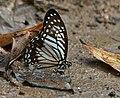 Lesser Zebra (Pathysa macarens) at Jayanti, Duars, West Bengal W Picture 292.jpg