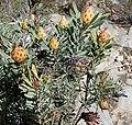 Leucadendron rubrum f Nicola van Berkel 3.jpg