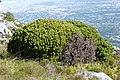 Leucadendron sp. ? in Table Mountain, Cape Town-South Africa.jpg