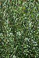 Leucophyllum frutescens in Jardin des plantes de Montpellier 01.jpg