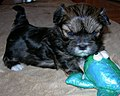 Lhasa Apso Puppy Image 001.jpg
