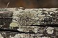 Lichen (41089934110).jpg