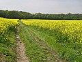 Lidsing, Kent - oilseed rape - geograph.org.uk - 10618.jpg