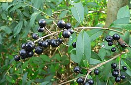 Ligustrum vulgare-Boutiers fruits.jpg