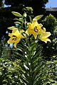 Lilien (Lilium) Hybridform.JPG