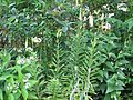 Lilium cf. ledebourei - Flickr - peganum (10).jpg