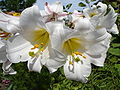 Lilium regale1a.UME.jpg