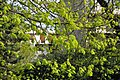 Lime tree leaves in spring 001.JPG
