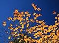 Lindera triloba (autumn leaf color s6).jpg