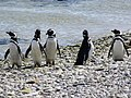 Lined up on the coast Magellenic Penguin Falkland Islands.jpg