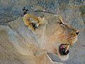 Lioness (Panthera leo) (7017832427).jpg