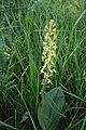 Listera ovata (orchidacées).jpg