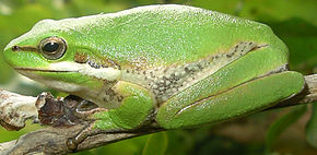 Description de l'image Litoria fallax.jpg.