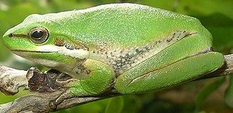 Eastern dwarf tree frog - Image: Litoria fallax