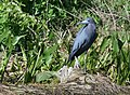 Little Blue Herons (34191908751).jpg