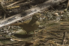 Little Greenbul - Gambia (32497646912).jpg