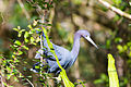 Little blue heron (24981978786).jpg