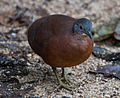 Little tinamou.jpg