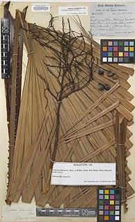<i>Livistona tahanensis</i> Species of palm
