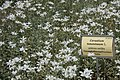 Ljubljana Botanic Garden - Cerastium tomentosum.JPG