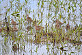 Long-billed Dowitchers (Limnodromus scolopaceus) (14201976745).jpg