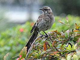 Long-tailed Mockingbird RWD2.jpg