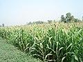 Long view of corn field in Pakistan 011.jpg