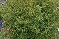 Lonicera nigra in Jardin Botanique de l'Aubrac.jpg