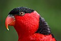 Lorius lory -Cincinnati Zoo, Ohio, USA -head-8a.jpg