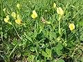 Lotus maritimus (var. siliquosus) sl29.jpg
