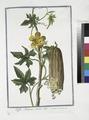 Luffa Arabum, semine albo. (Sponge gourd) (NYPL b14444147-1124990).tiff