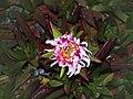 Lumio Carpobrotus edulis rose 1.jpg