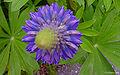 Lupinus polyphyllus top.jpg