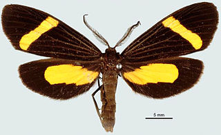 <i>Lyces</i> Genus of moths