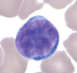 Lymphocyte GL.jpg