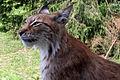 Lynx lynx-5.JPG