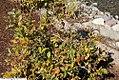 Lyonia ligustrina 4zz.jpg