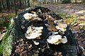 MOs810, WG 2013 21, OChK Baszkow Rochy (mushrooms).JPG