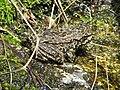 MYLF Frog (5794437034).jpg
