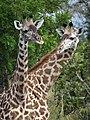 Maasai Giraffes - Mikumi National Park - Tanzania - 07 (8892219403).jpg