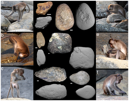 Crab-eating macaques with stone tools Macaca fascicularis aurea stone tools - journal.pone.0072872.g002.png