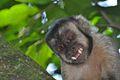 Macaco-prego Jaraguá 4.jpg