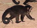Macaco prego Manduri 060811 REFON 8.JPG