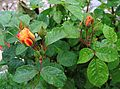 Macedonia-Rose buds in the rain (27510971826).jpg