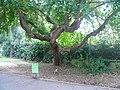 Maclura P1520412.jpg